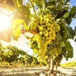 vineyard in menorca